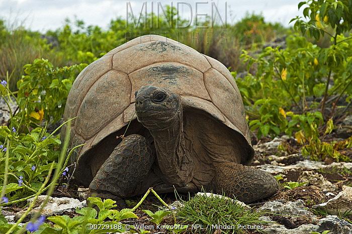 Aldabra Giant Tortoise (Aldabrachelys gigantea) on Grand Terre, Natural World Heritage Site, Aldabra