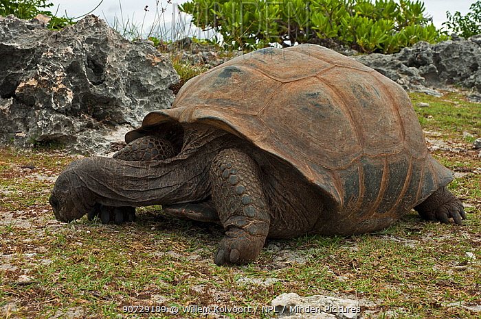 Aldabra Giant Tortoise (Aldabrachelys gigantea) grazing on grass, Grand Terre, Natural World Heritage Site, Aldabra