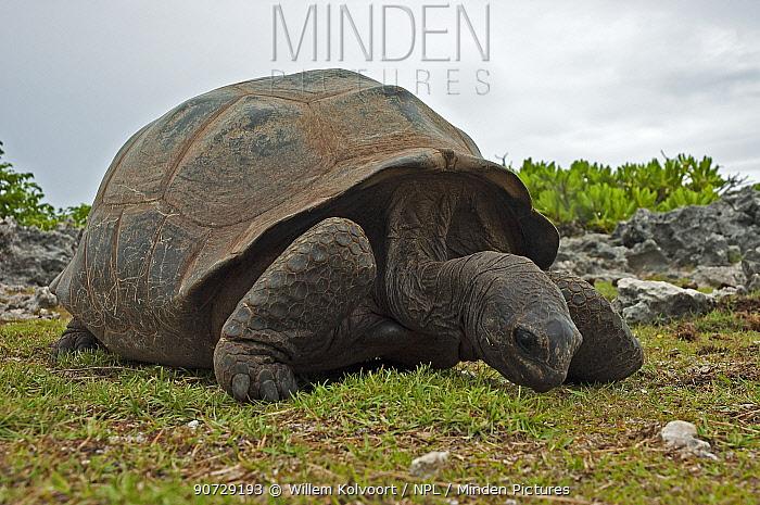 Aldabra Giant Tortoise (Aldabrachelys gigantea) grazing on grass on Grand Terre, Natural World Heritage Site, Aldabra