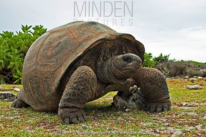 Aldabra Giant Tortoise (Aldabrachelys gigantea) portrait on Grand Terre, Natural World Heritage Site, Aldabra