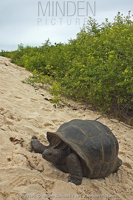 Aldabra Giant Tortoise (Aldabrachelys gigantea) in the dunes on the south coast of Grand Terre, Natural World Heritage Site, Aldabra