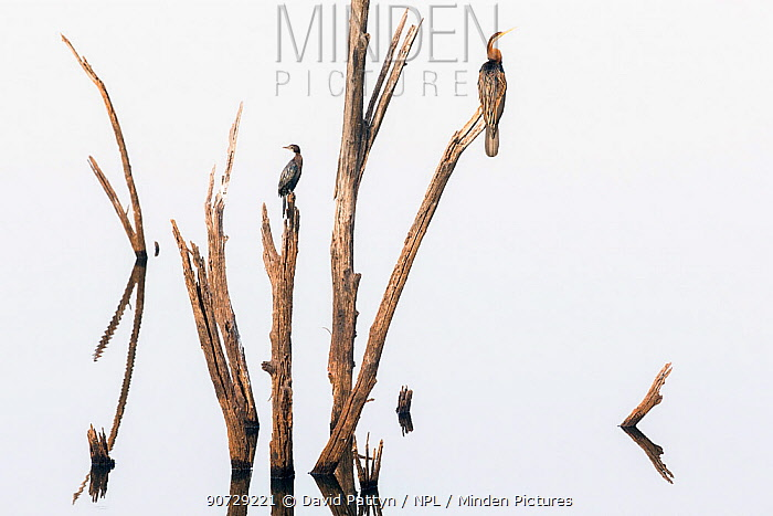 Darters (Anhinga melanogaster) and Little cormorants (Phalacrocorax niger) sitting on a dead tree in a lake, Ranthambore National Park, Rajasthan, India