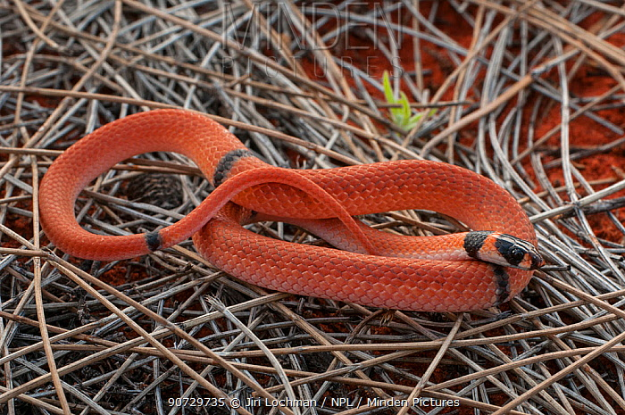 Minden Pictures stock photos - Ringed Brown Snake