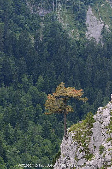Black pine / Austrian pine (Pinus nigra) growing from limestone outcrop in Sutjeska National Park, Bosnia and Herzegovina, July 2014.