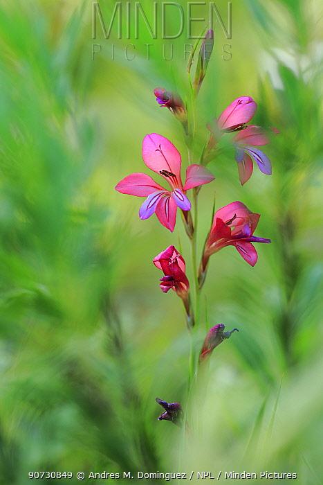 Field gladiolus (Gladiolus italicus) flower, Sierra de Grazalema Natural Park, southern Spain, May.