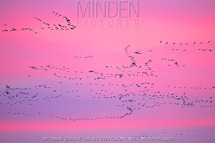 Pink-footed Geese (Anser brachyrhynchus) in flight at dusk. The Wash. Norfolk, January.
