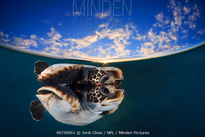 Juvenile green turtle (Chelonia mydas) reflected in the surface of the window with Snell's window affect, Fakarava atoll inside lagoon at sunset, Tuamotu archipelago, French Polynesia; Pacific Ocean