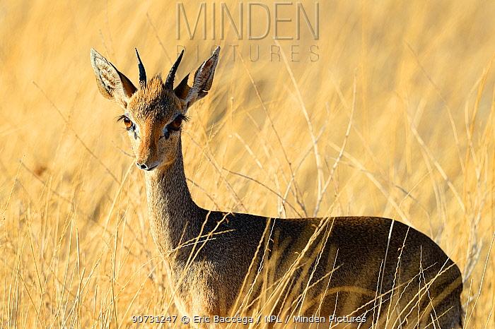Kirk's dik-dik (Madoqua kirkii), Samburu National Reserve, Kenya, Africa.