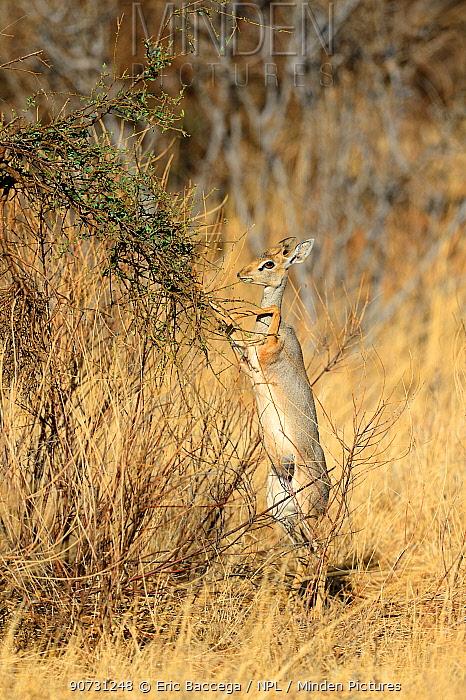 Kirk's dik-dik (Madoqua kirkii) standing on hind legs to feed on leaves, Samburu National Reserve, Kenya, Africa.