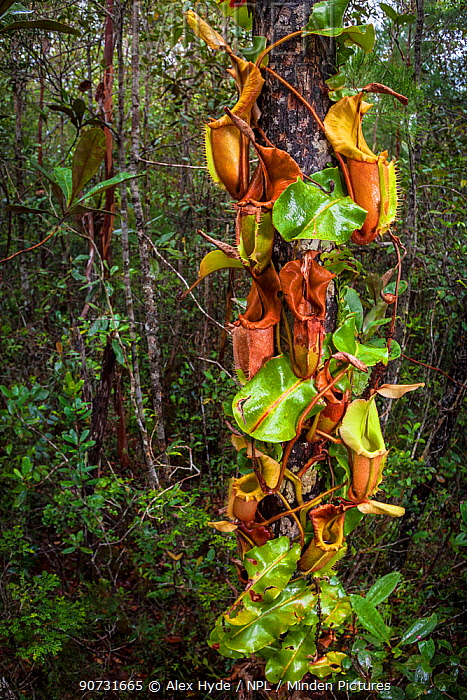 Large aerial pitchers of Veitch's pitcher plant (Nepenthes veitchii) growing up a tree trunk. Maliau Basin, Sabah, Borneo.