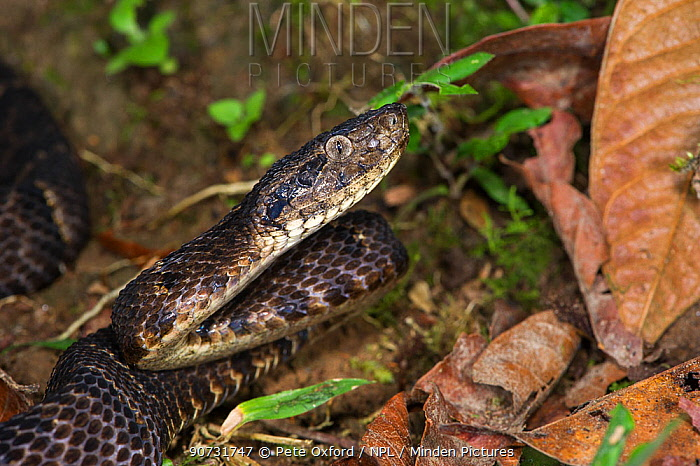 Osborne's lancehead (Bothrops osbornei) Ecuador, Captive, occurs in South America.