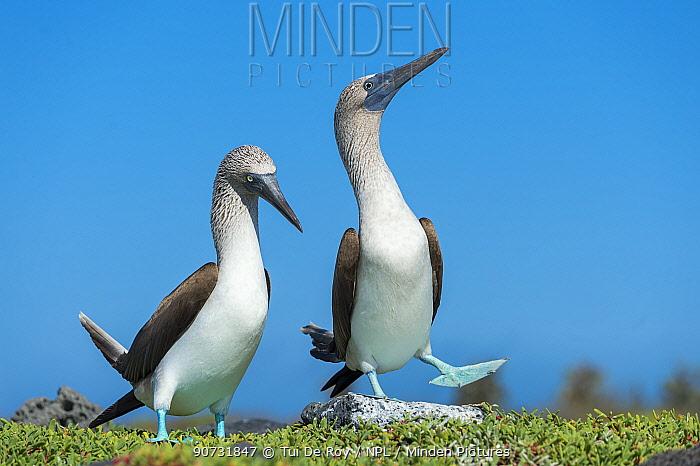 Blue-footed booby (Sula nebouxii) pair 'dancing' courtship display, Santa Cruz Island, Galapagos, Ecuador.