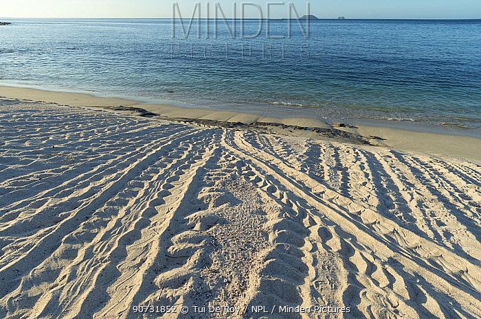Green turtle (Chelonia mydas) tracks from nesting females on beach, Galapagos