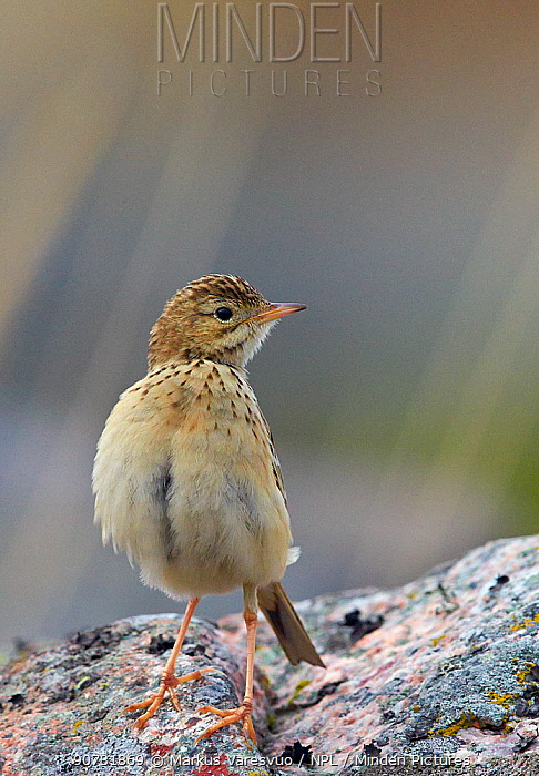 Blyth's pipit (Anthus godlewskii) perched on rock, Uto, Finland, October.