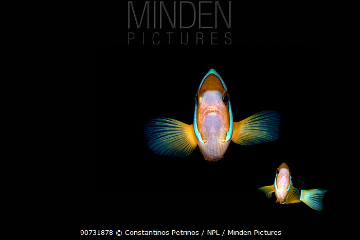 Clark's anemonefish (Amphiprion clarkii) on black background Lembeh Strait, North Sulawesi, Indonesia. Composite image.
