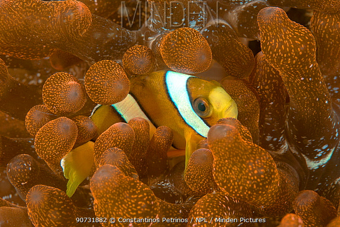 Clark's anemonefish (Amphiprion clarkii) unusual yellow form in  its host Bubble-tip Anemone (Entacmaea quadricolor). Lembeh Strait, North Sulawesi, Indonesia.