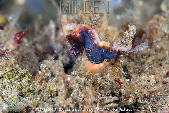 Severn's pygmy seahorse (Hippocampus severnsi) Lembeh Strait, North Sulawesi, Indonesia.