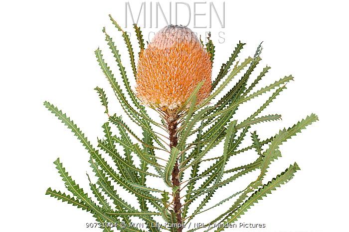 Hooker's Banksia (Banksia hookeriana), Western Australia. meetyourneighbours.net project