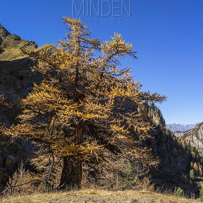 Larch (Larix sp) in mountain habitat with autumn foliage, Val d'Escreins, Queyras Regional Park, Hautes-Alpes, France, October 2014.