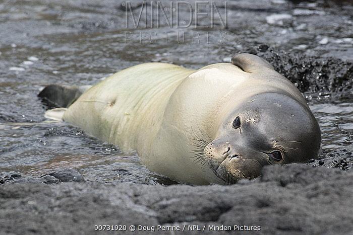 Hawaiian monk seal (Neomonachus schauinslandi) young male known as 'Kamilo' resting on shoreline, Kealakekua Bay, Kona Coast, Hawaii, USA. Critically Endangered species.