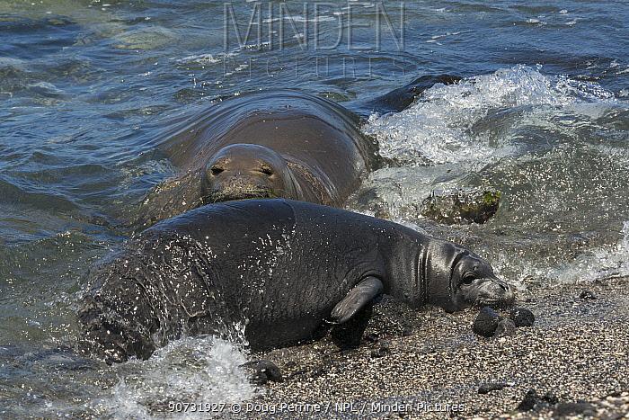 Hawaiian monk seal (Neomonachus schauinslandi) female with pup aged 6 weeks, Kaiole Bay, Ka'u, Hawaii, USA.  Critically Endangered species.