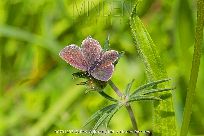 Small blue butterfly (Cupido minimus) male, Hutchinson's Bank, New Addington, Croydon, South London, England, UK, June.