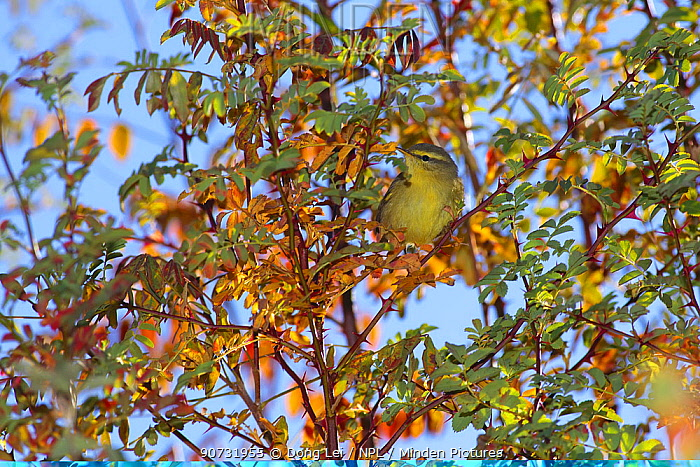 Tickell's leaf warbler (Phylloscopus affinis) perched in autumnal tree, Kawakarpo Mountain, Meri Snow Mountain National Park, Yunnan Province, China, October.