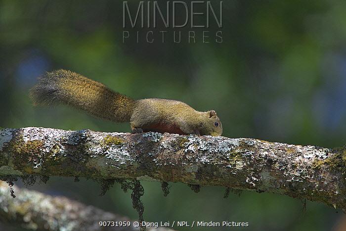 Pallas's squirrel (Callosciurus erythraeus) Tengchong county, Gaoligong Mountain National Nature Reserve, Yunnan Province, China.