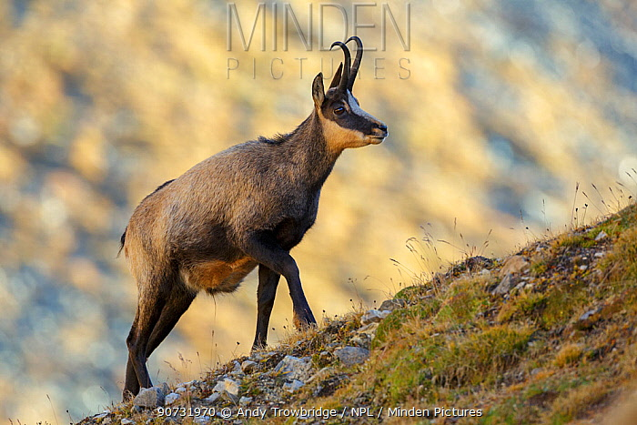 Male / Buck Chamois (Rupicapra rupicapra) walking up ridge with sunlit mountain face in background. Lauson's Valley, Gran Paradiso National Park, Italy, September.