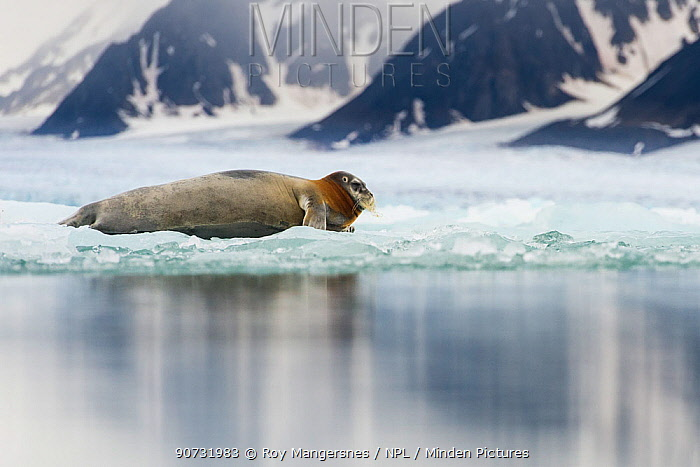 Bearded seal (Erignathus barbatus) resting on fjord ice, Liefdefjorden, Spitsbergen, Svalbard, Norway, July.