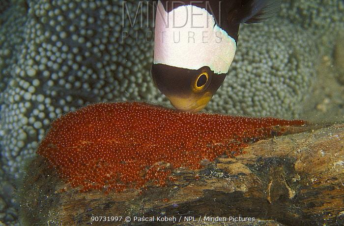 Saddleback anemonefish (Amphiprion polymnus) ventilating eggs near Haddon's anemone (Stichodactyla haddoni), Pacific Ocean, Papua New Guinea. Small reproduction only