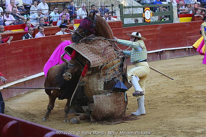 Bull flipping over horse wearing protective 'peto' padding during the first round of the bull fight,Tercio de Varasbull, Plaza de Toros, Valencia, Spain, July 2014.