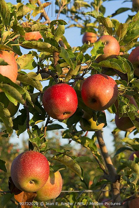 Ripe 'Joya' apples on tree , Arles, Camargue, France, September.
