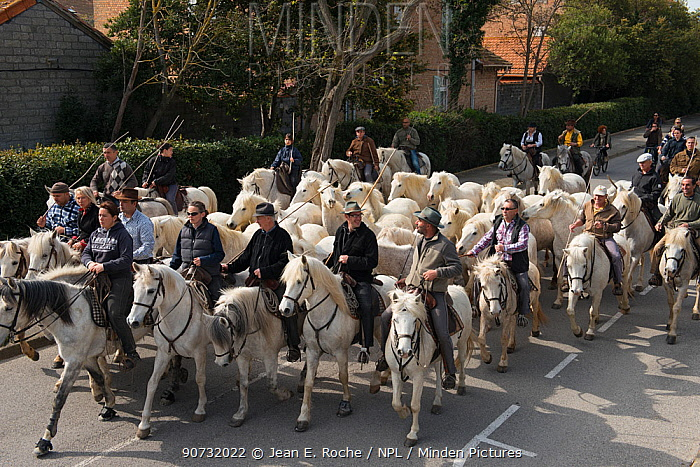 Riders herding horses to their pasture, a tradition known as 'roussataio', Camargue, France, March, 2014.