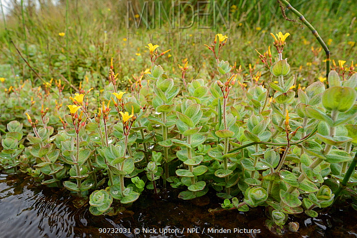 Marsh St.John's wort / Bog Hypericum  (Hypericum elodes) flowering in a stream, Bodmin moor, Cornwall, UK, July.