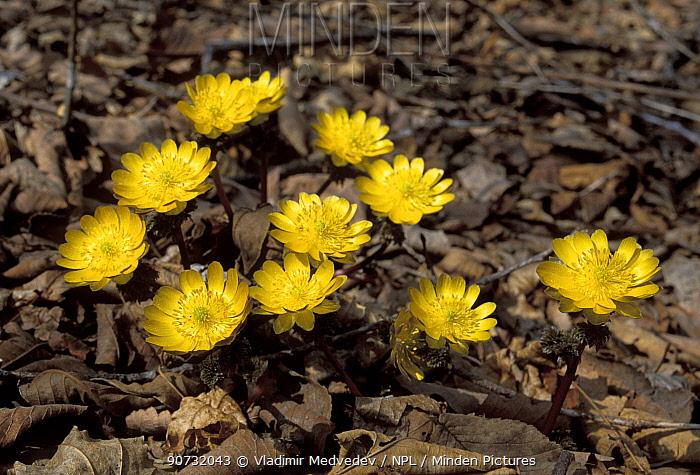 Far east Amur adonis / pheasant's-eye flowers (Adonis amurensis) Amur Region, Russia.