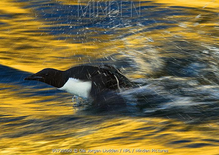 Brunnich's guillemot (Uria lomvia lomvia) taking off from water with golden light, Svalbard, Norway, June.