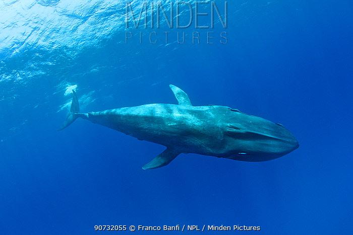 Pygmy blue whale (Balaenoptera musculus brevicauda) Mirissa, Sri Lanka, Indian Ocean. Endangered species. Subspecies of Blue Whale.