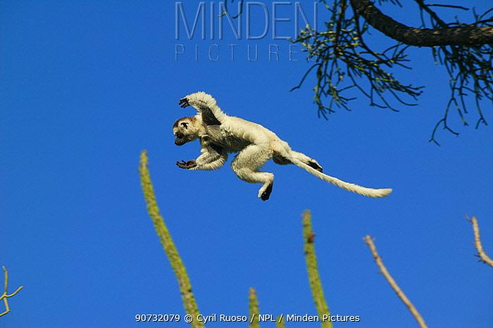 Verreaux's sifaka (Propithecus verreauxi) jumping from tree to tree, Berenty reserve, Madagascar.