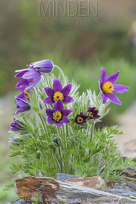 Pasque flower (Pulsatilla vulgaris) cultivated specimen, Surrey, England