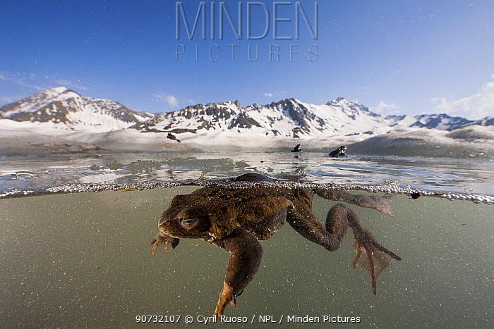 Common frog (Rana temporaria) split level view of frog swimming in pond in breeding season in the Alps, France, June..