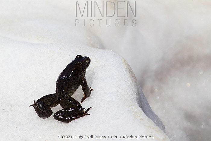 Common frog (Rana temporaria) breeding season in the Alps, France, June..