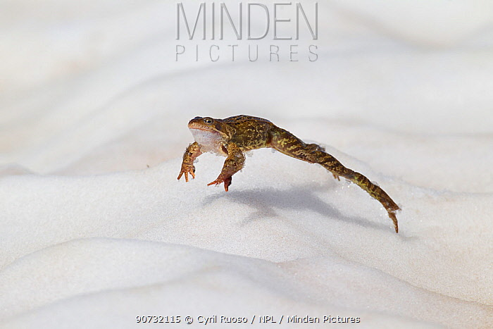 Common frog (Rana temporaria) jumping towards pond in breeding season in the Alps, France, June..