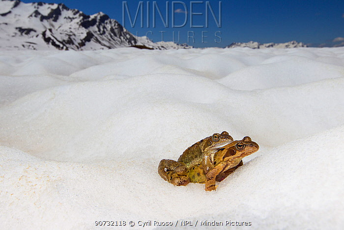 Common frog (Rana temporaria) pair in amplexus moving to pond during breeding season. Alps, France, June..