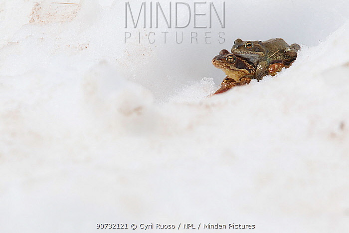 Common frog (Rana temporaria) pair in amplexus moving to pond during breeding season, Alps, France, June.
