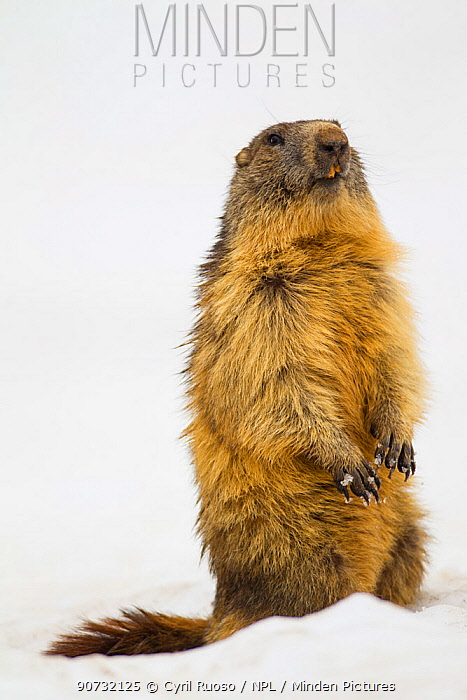 Alpine marmot (Marmota marmota) standing on alert in spring snow at 2000m, Alps, France, June.