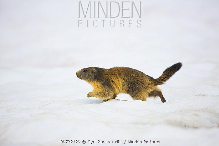 Alpine marmot (Marmota marmota) running over spring snow at 2000m, Alps, France, June.