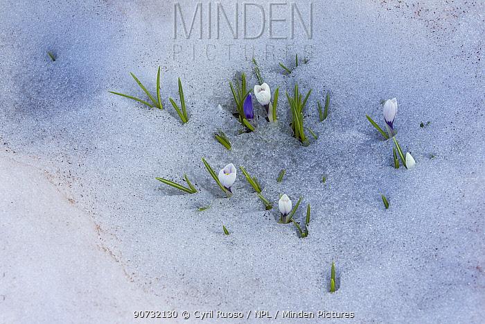 Dutch crocus (Crocus vernus) coming up through spring snow at 2000m, Alps, France, June.