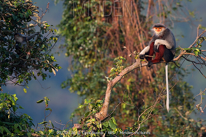 Red-shanked Douc langur (Pygathrix nemaeus) adult male sitting on branch in canopy, Vietnam