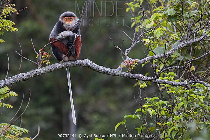 Red-shanked Douc langur (Pygathrix nemaeus) adult female sitting on branch, Vietnam
